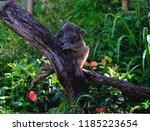 koala sleeping in tree in... | Shutterstock . vector #1185223654