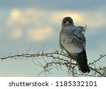 african predatory bird | Shutterstock . vector #1185332101