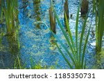 shore swamps and reeds close up....   Shutterstock . vector #1185350731