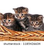 cute siberian kittens in a... | Shutterstock . vector #1185426634