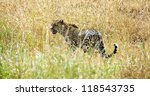 a large adult leopard looks... | Shutterstock . vector #118543735