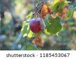 red apple on branch against... | Shutterstock . vector #1185453067
