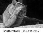Portrait Of A Gray Cat Lies An...
