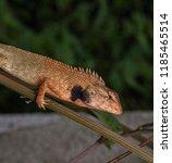 oriental garden lizard  ... | Shutterstock . vector #1185465514