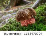 neoboletus luridiformis known... | Shutterstock . vector #1185470704