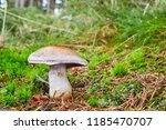 cortinarius traganus   inedible ... | Shutterstock . vector #1185470707