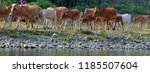 the skinny white cows and oxen... | Shutterstock . vector #1185507604