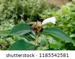 beautiful cone shaped white... | Shutterstock . vector #1185542581