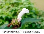 beautiful cone shaped white... | Shutterstock . vector #1185542587