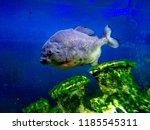 ordinary piranhas are a species ... | Shutterstock . vector #1185545311