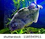 ordinary piranhas are a species ... | Shutterstock . vector #1185545911