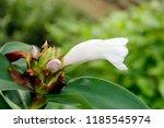 beautiful cone shaped white... | Shutterstock . vector #1185545974