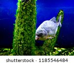ordinary piranhas are a species ... | Shutterstock . vector #1185546484