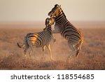 two plains  burchells  zebra... | Shutterstock . vector #118554685