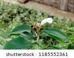 beautiful white crinkled flower ... | Shutterstock . vector #1185552361