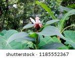 beautiful white crinkled flower ... | Shutterstock . vector #1185552367