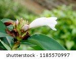 white flower of cheilocostus... | Shutterstock . vector #1185570997