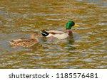 A Pair Of Mallard Ducks Are...