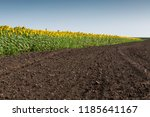 blooming sunflowers plantation... | Shutterstock . vector #1185641167