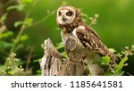Stock photo common barn head close up the owl sitting on a tree branch a beautiful huge european eagle owl 1185641581