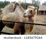 Profile Of A Camel  Camelus...
