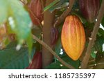 group of colorful cacao pods... | Shutterstock . vector #1185735397