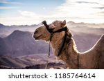 a camel resting at the mount... | Shutterstock . vector #1185764614