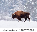 European bison (Bison bonasus) in natural habitat in winter - stock photo