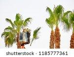 worker cuts long palm trees in... | Shutterstock . vector #1185777361