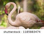 flamingo bird day life with... | Shutterstock . vector #1185883474