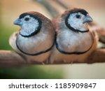 beautiful owl finch bird ... | Shutterstock . vector #1185909847