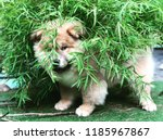 chowchow puppy play hide and... | Shutterstock . vector #1185967867