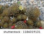 mammillaria prolifera flowering | Shutterstock . vector #1186019131