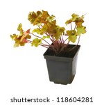 """A young plant Heuchera """"Caramel"""" in a flowerpot on a white background is isolated - stock photo"""