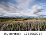 lupine in iceland. summer... | Shutterstock . vector #1186060714