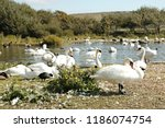 A Large Flock Of Mute Swans...