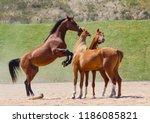 young stallions of arabian... | Shutterstock . vector #1186085821