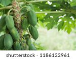 papaya fruit on wooden...   Shutterstock . vector #1186122961