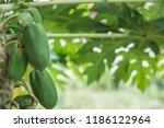 papaya fruit on wooden...   Shutterstock . vector #1186122964