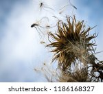 dandelion  blowing in the...   Shutterstock . vector #1186168327
