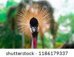 portrait of wild grey crowned... | Shutterstock . vector #1186179337