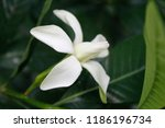 """Small photo of White Gardenia jasminoides ( the gardenia, cape jasmine, cape jessamine, or jasmin) blooming in nature, natural herb.Its fructus (fruit) used within traditional Chinese medicine to """"drain fire"""""""