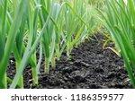 organically cultivated garlic... | Shutterstock . vector #1186359577