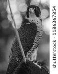 peregrine falcon on the...   Shutterstock . vector #1186367854