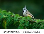 crested tit sitting on... | Shutterstock . vector #1186389661