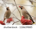 Waxwings With Berry Of Mountai...