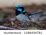 superb fairywren   malurus... | Shutterstock . vector #1186434781