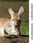 kangaroo in the outback in... | Shutterstock . vector #1186461064