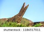 komodo dragon rise the head and ... | Shutterstock . vector #1186517011