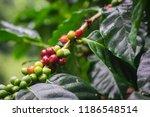 arabica coffee cherries on tree ... | Shutterstock . vector #1186548514